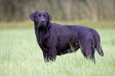 Labrador Retriever, schwarz, stehend
